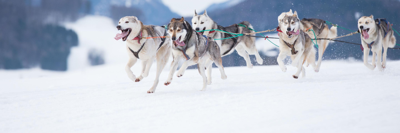 Alaska Siberian Husky Sled race vacations